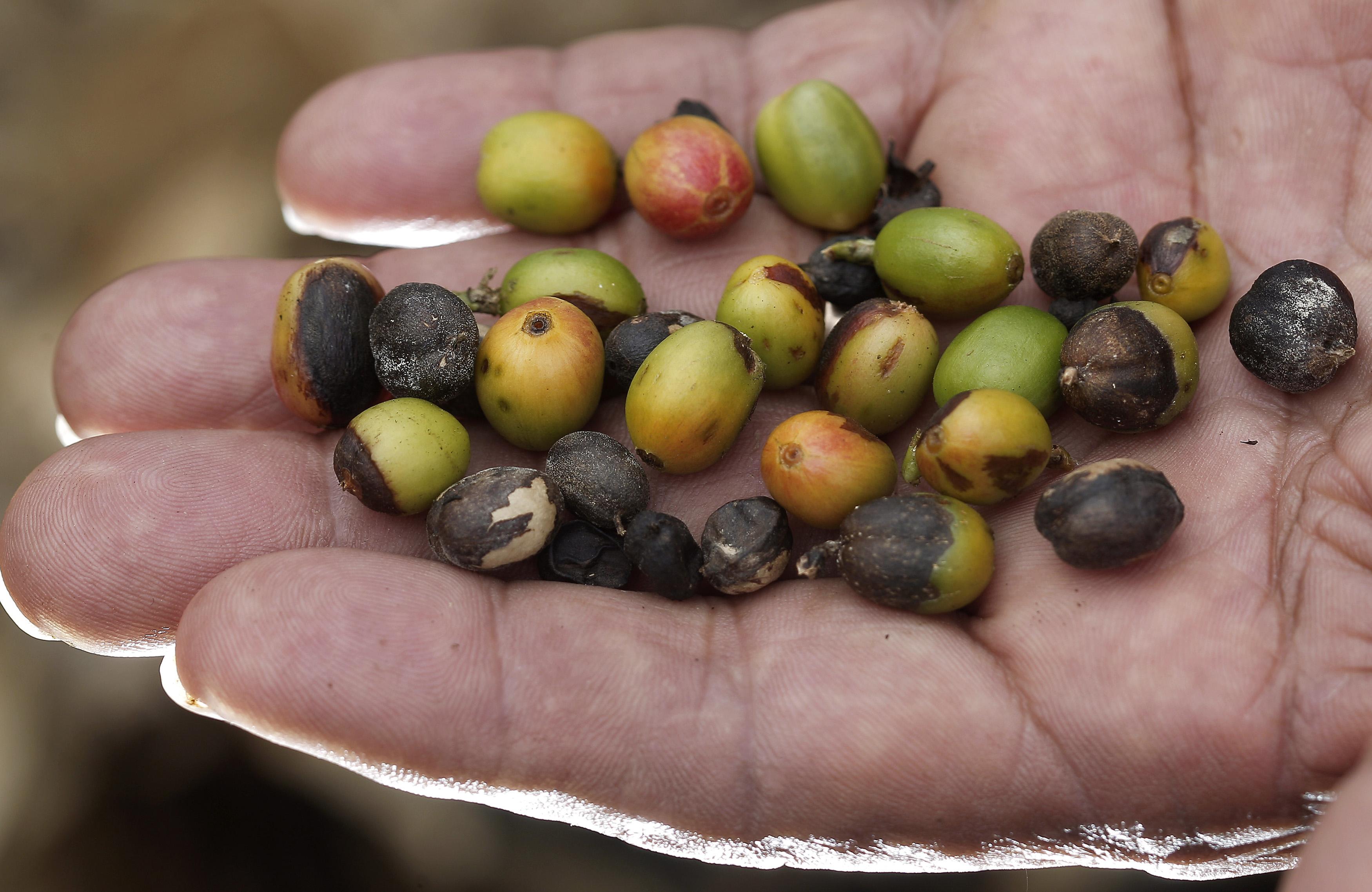 Coffee Fungus
