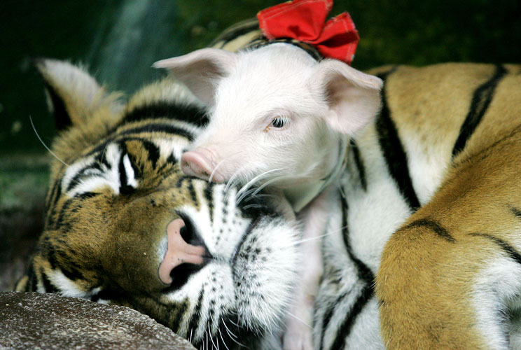 <p>A piglet snuggles withits tiger buddyat Siracha Zoo, 50 miles east of Bangkok, the Thai capital. The zoo is trying to boost the number of visitors by showing howdomestic animals such as pigs and wild animals such as tigers canlive together in har