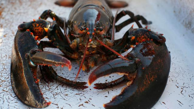 """A lobster sits in a holding bin before having its claws banded onboard the lobster boat """"Wild Irish Rose"""" in the waters off Cape Elizabeth"""