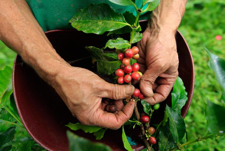 It takes 5 years for a coffee tree to mature, and while the trees can grow to 30 feet tall, they're usually kept at 10 for easier picking. A day's wage for many of those who harvest the beans on the hillsides of South America? Equal to about the price of