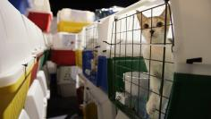 Cats wait to be loaded into trucks after arriving from Lebanon by cargo jet in Las Vegas