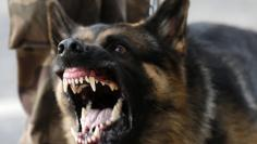 A police dog reacts as protesters clash with law enforcement troops during a demonstration outside Mineirao stadium, where the Confederations Cup soccer match between Japan and Mexico is taking place, in Belo Horizonte