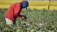 A farmworker picks strawberries at a farm in the town of San Quintin